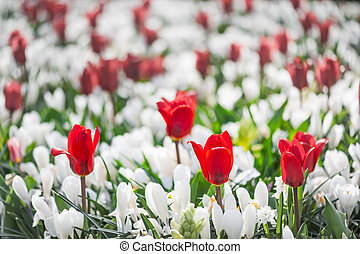 Red tulips among white flowers in a garden