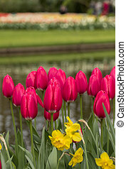 red tulips and daffodils blooming in a garden