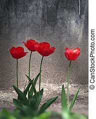 red tulips and grunge gray wall in the spring city