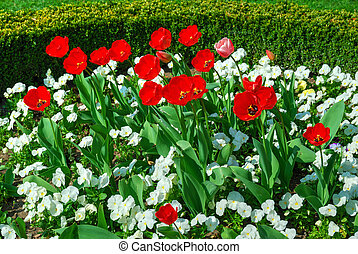 Red tulips and white pansies in bloom