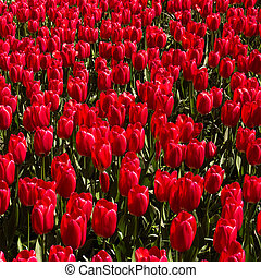 red tulips background. Colorful field of tulips