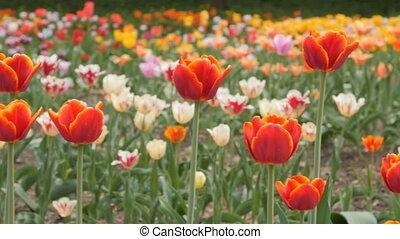 red tulips blooming closeup - slider shot