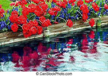 Red Tulips Blue Grape Hyacinths Muscari Flowers Reflection Skagit Valley Farm Washington State Pacific Northwest