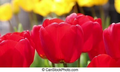 red tulips closeup
