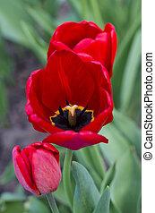 red tulips closeup
