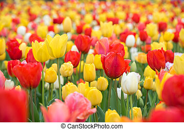 Red tulips. Colorful tulips in spring season