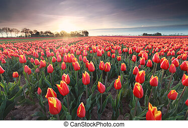 red tulips field at sunrise