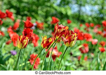 red tulips field in a garden