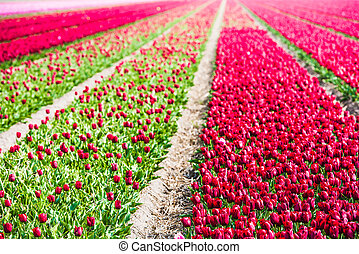 Red tulips field in the Netherlands