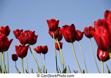 red tulips field on a blue sky