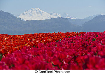Red Tulips Fields. Mountains.