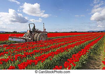Tulip field in Washington State, Skagit Valley. April.