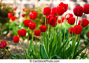 Red tulips flowerbed