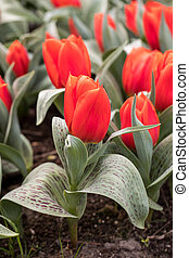 red tulips flowers blooming in a garden