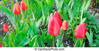 Red tulips flowers blooming in a garden. Wide photo.