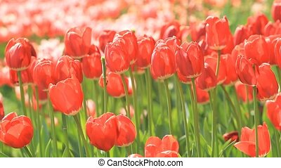 Red tulips flowers blossom
