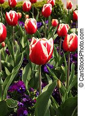 Red tulips flowers in garden