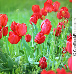 Red tulips flowers in green grass closeup