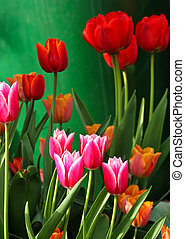 Red tulips in a garden