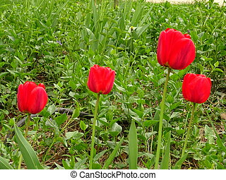 Red Tulips in a Green Garden