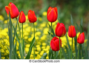 Red tulips in a row