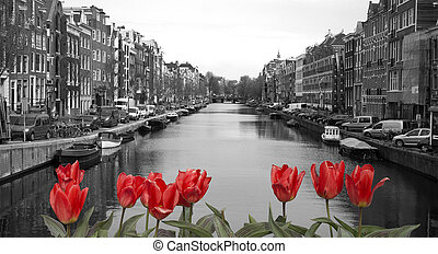 red tulips in amsterdam - black and white image of an...