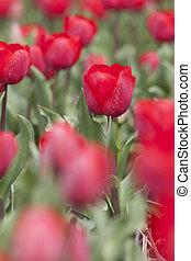 red tulips in dutch field
