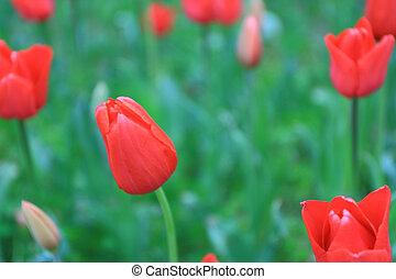 Red tulips in flower field.