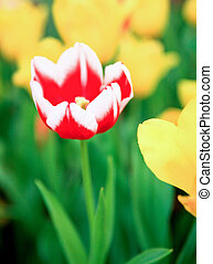Red tulips in green grass
