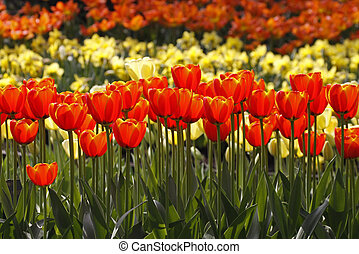 Red tulips in spring, Netherlands