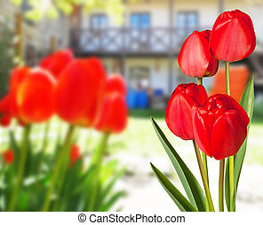 Red tulips in the garden with a house in the background