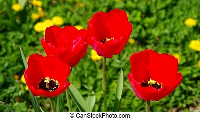 Red tulips in the wind