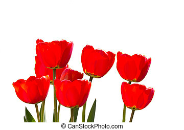 Red Tulips isolated in closeup view