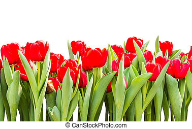 Red tulips isolated on white background with clipping path