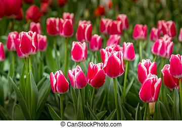 red tulips, Keukenhof flower garden