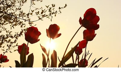 red tulips on a background of fiery
