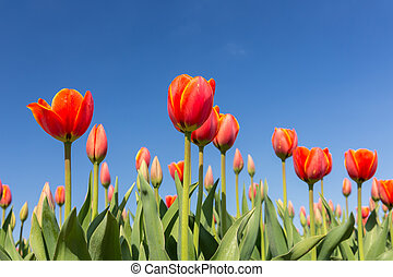 Red tulips on a blue sky