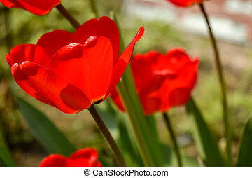Red tulips on a bright sunny day.