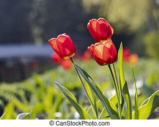 red tulips on a green blurred background