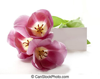Red tulips on a white background with blank card for text