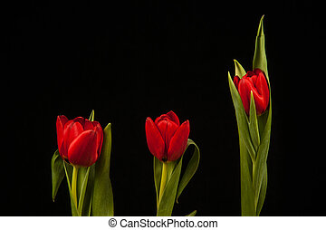 Red Tulips On Black Background
