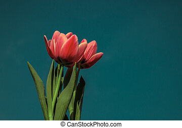 Red tulips on blue sky background