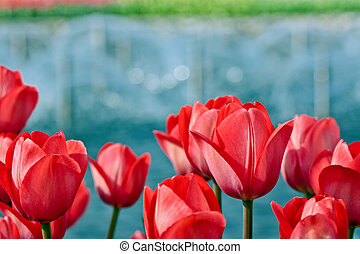 Red tulips on blurry background