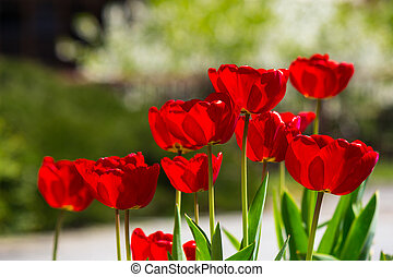 red tulips on color blurred background