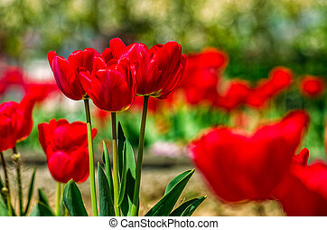 red tulips on green blurred background