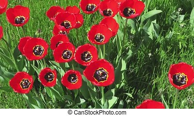 Red tulips on green grass