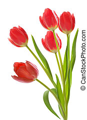 Red tulips on white isolated background