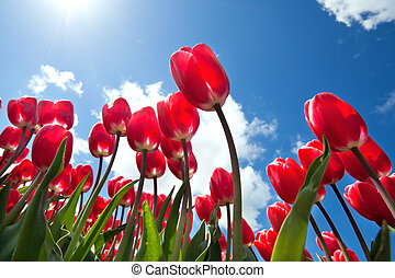 red tulips over blue sky