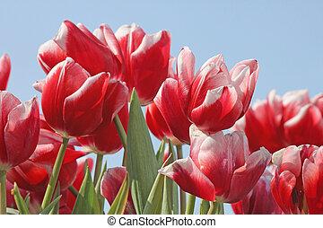 tulips over blue sky