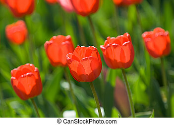 red tulips, shallow focus
